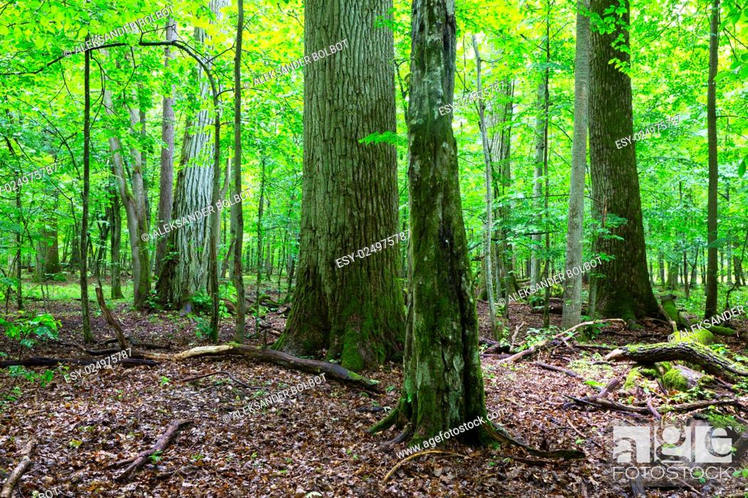 Stock Photo: Primeval deciduous stand of natural forest in summertime with huge broken oak branch in foreground, Bialowieza Forest, Poland, Europe.