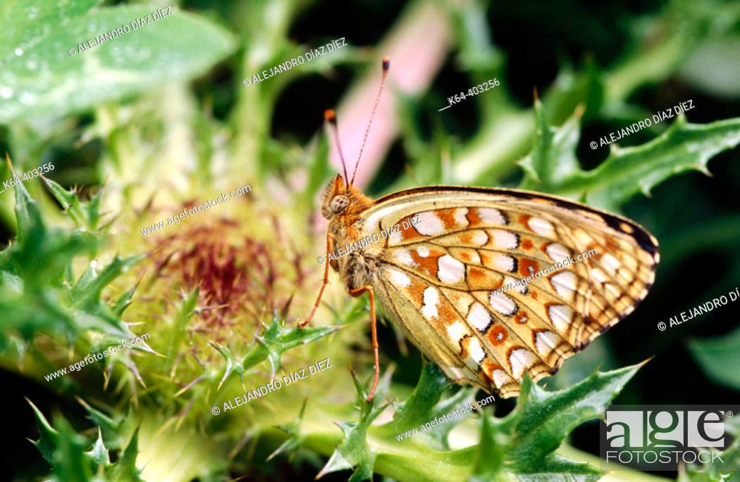 Stock Photo: Niobe Fritillary (Fabriciana niobe). La Vanoise, France.