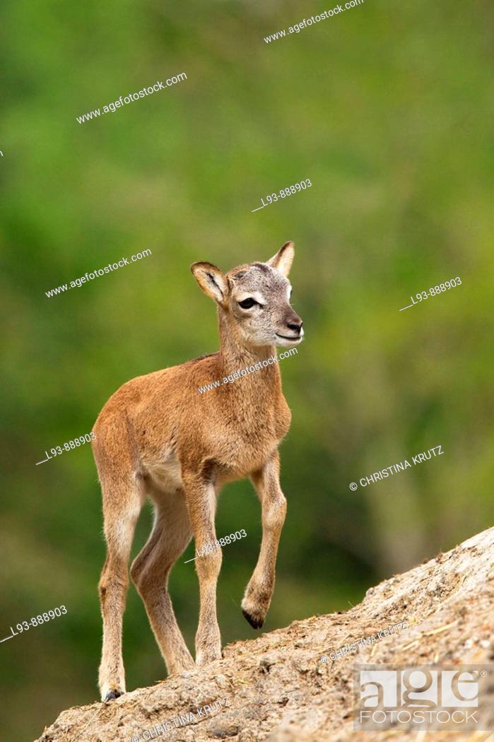Stock Photo: Young Mouflon (Ovis ammon musimon).