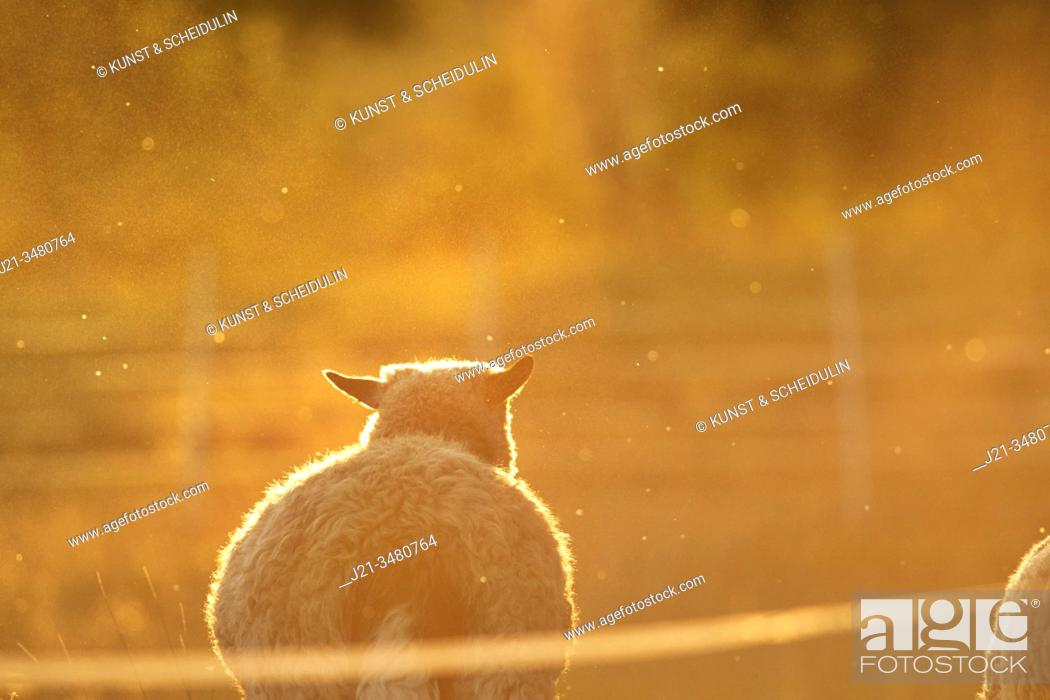 Stock Photo: A sheep is standing on a pasture, bathing in the golden light at sunset. Västernorrland, Sweden, Europe.