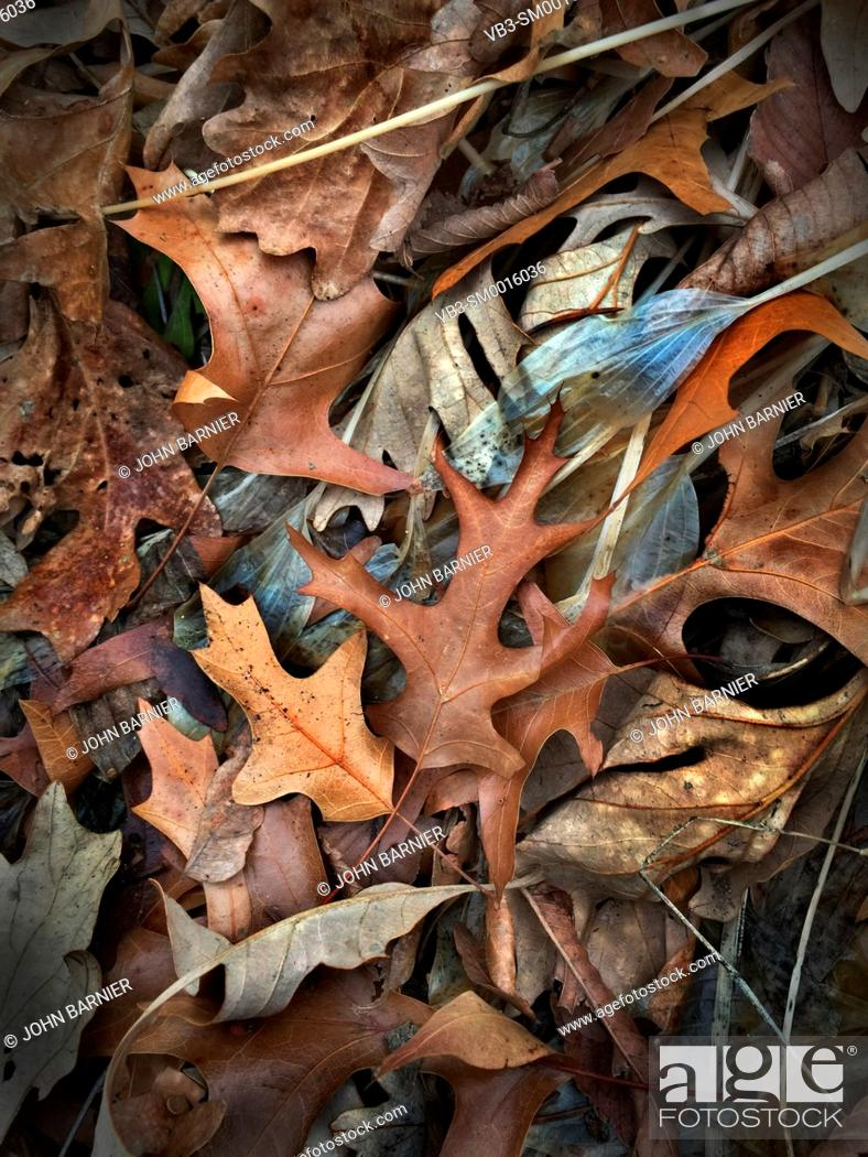 Stock Photo: Transparent Hosta Royal Standard leaves among other dead autumn leaves, including white oak, red oak, elm, and maple.