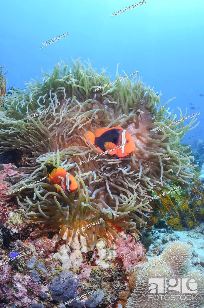 Stock Photo: Tomato anemonefish, Amphiprion frenatus, Anilao, Batangas, Philippines, Pacific.