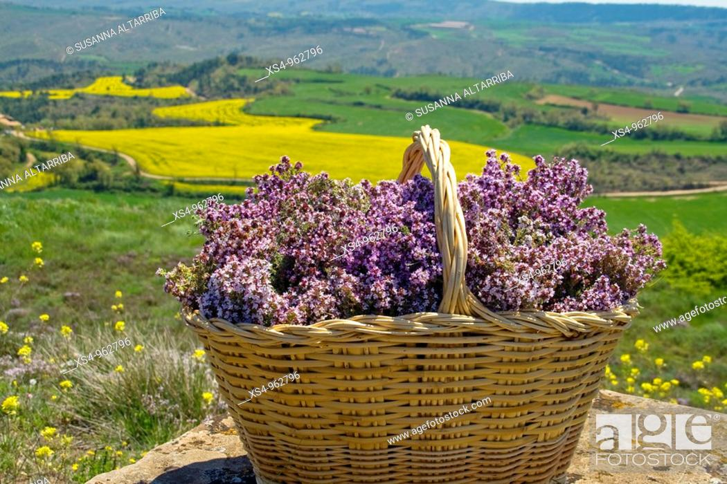 Imagen: Wicker basket full of thyme in front of field of soya, Tymus vulgaris  Photo shot in Solsones, Catalonia, Spain, Europe, May 09.