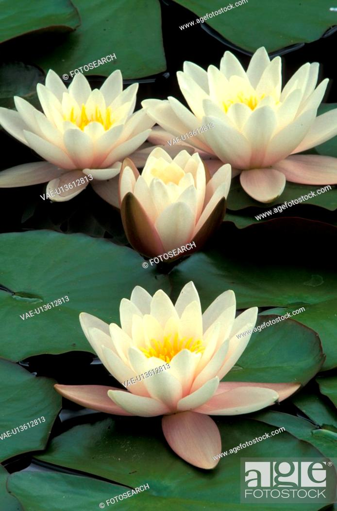 Stock Photo: aquatic plant, blooms, bloom, attraction, abloom.