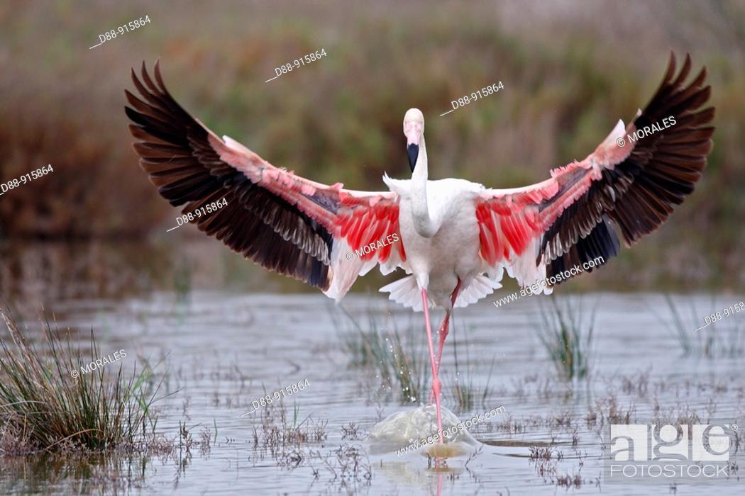 Stock Photo: Greater Flamingo (Phoenicopterus ruber).