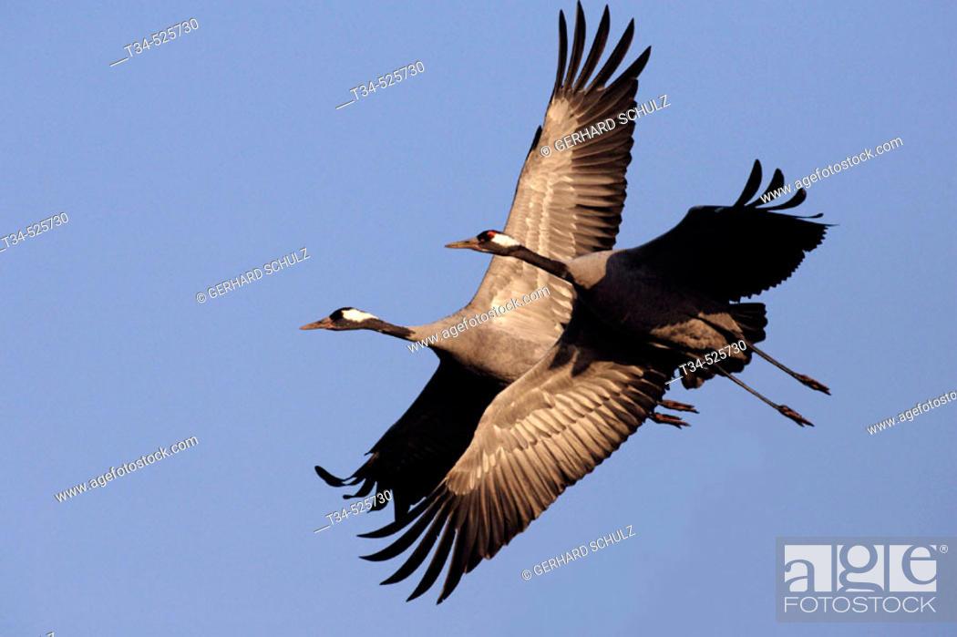Stock Photo: Crane. Migration. Grus grus. Mecklenburg-Vorpommern, Germany.