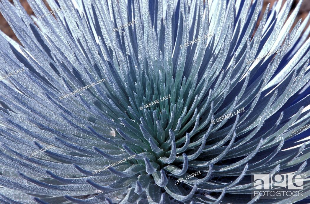 Stock Photo: HAWAIIAN SILVERSWORD argyroxiphium sandwicense macrocephalum, ENDEMIC TO THE HALEAKALA VOLCANO CRATER, HAWAII.