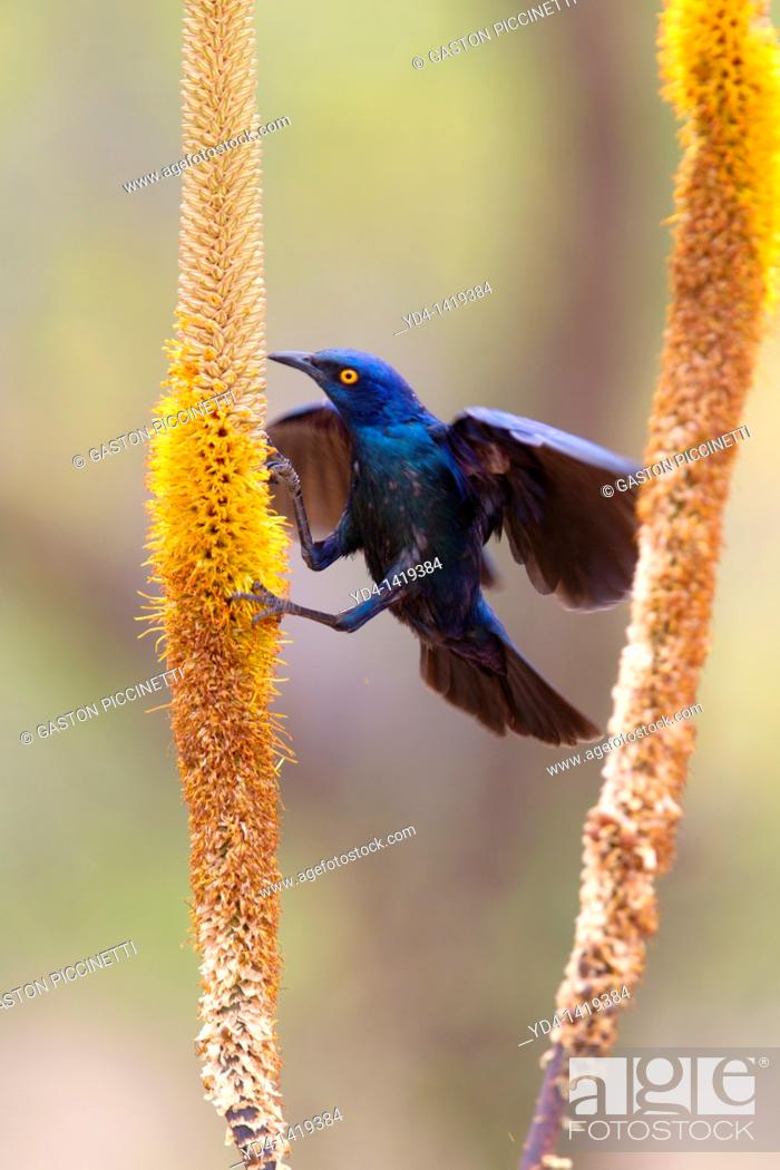 Stock Photo: Cape Glossy Starling Lamprotornis nitens, on the Skirt aloe Aloe aloides, Kruger National Park, South Africa.