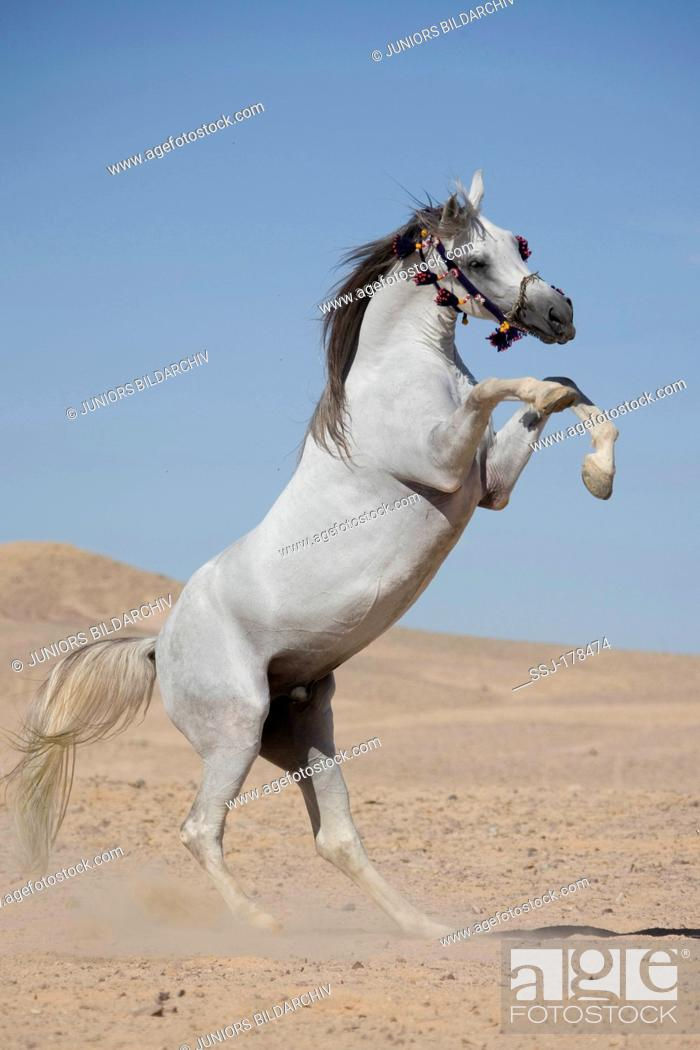 Arab Horse Arabian Horse Gray Stallion Rearing In The Desert Stock Photo Picture And Rights Managed Image Pic Ssj 178474 Agefotostock