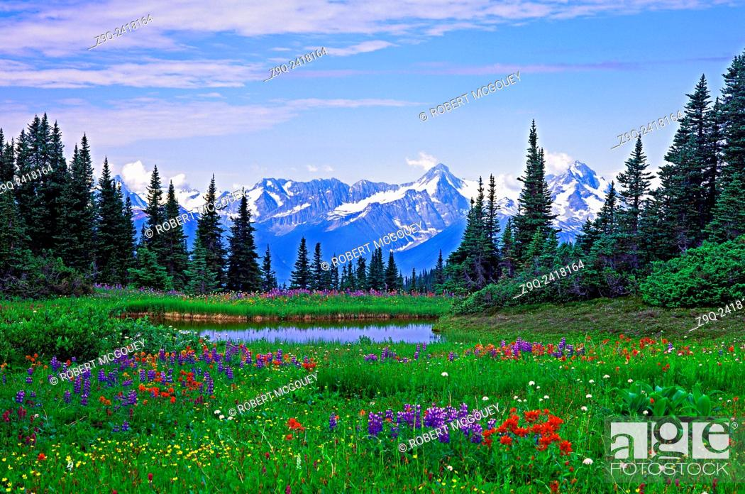 Stock Photo: This summer mountain scenic captured in June in northern British Columbia shows fields of alpine wildflowers and small water ponds against a Rocky Mountain.