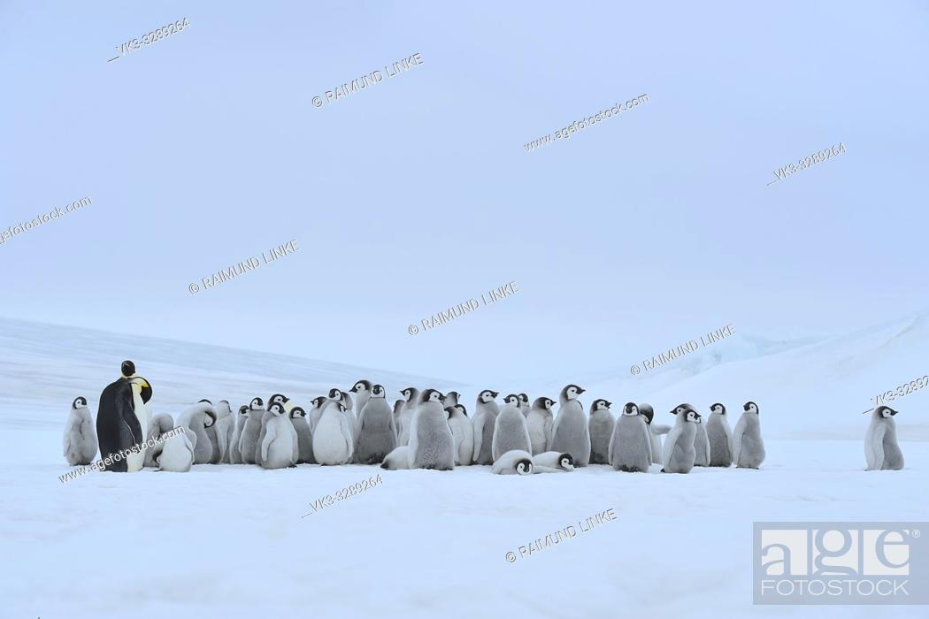 Imagen: Emperor penguins, Aptenodytes forsteri, Group of Chicks with one Adult, Snow Hill Island, Antartic Peninsula, Antarctica.