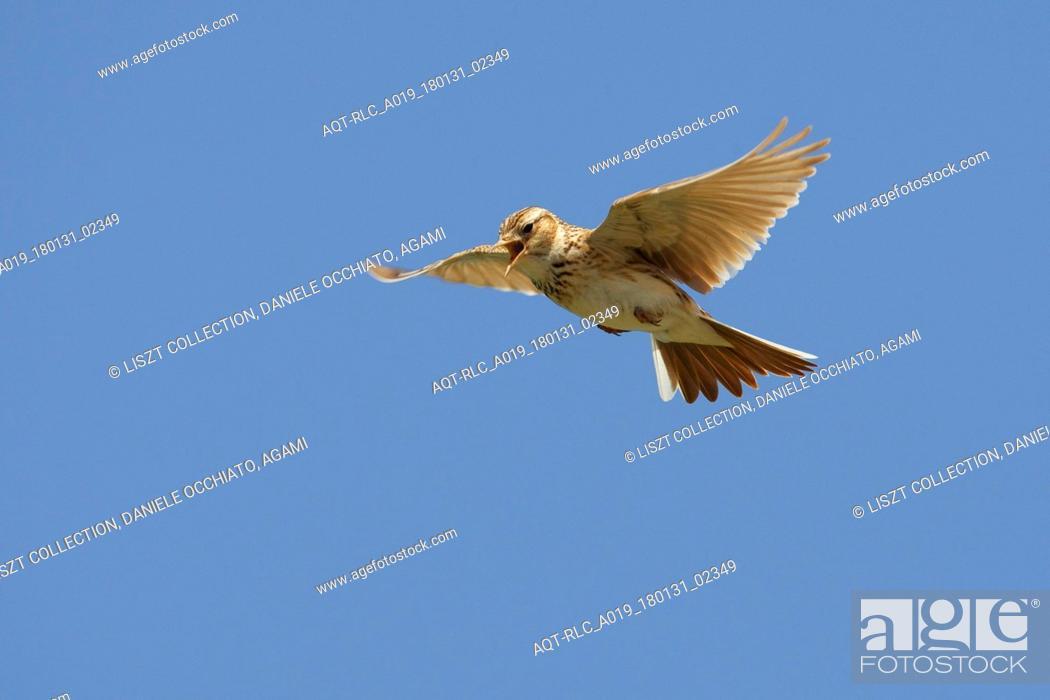 Stock Photo: Eurasian Skylark in song flight, Eurasian Skylark, Alauda arvensis.