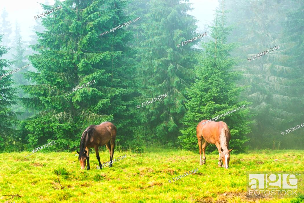 Stock Photo: Two wild running horses grazing in the misty forest.