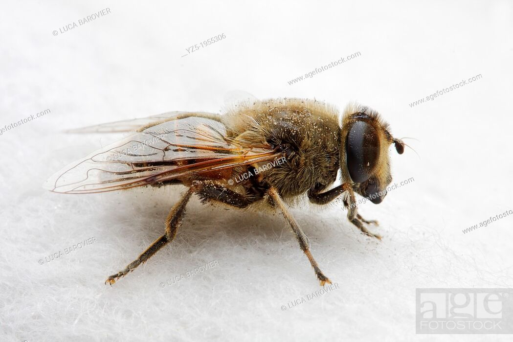 Stock Photo: Hoverfly Syrphidae on white background.