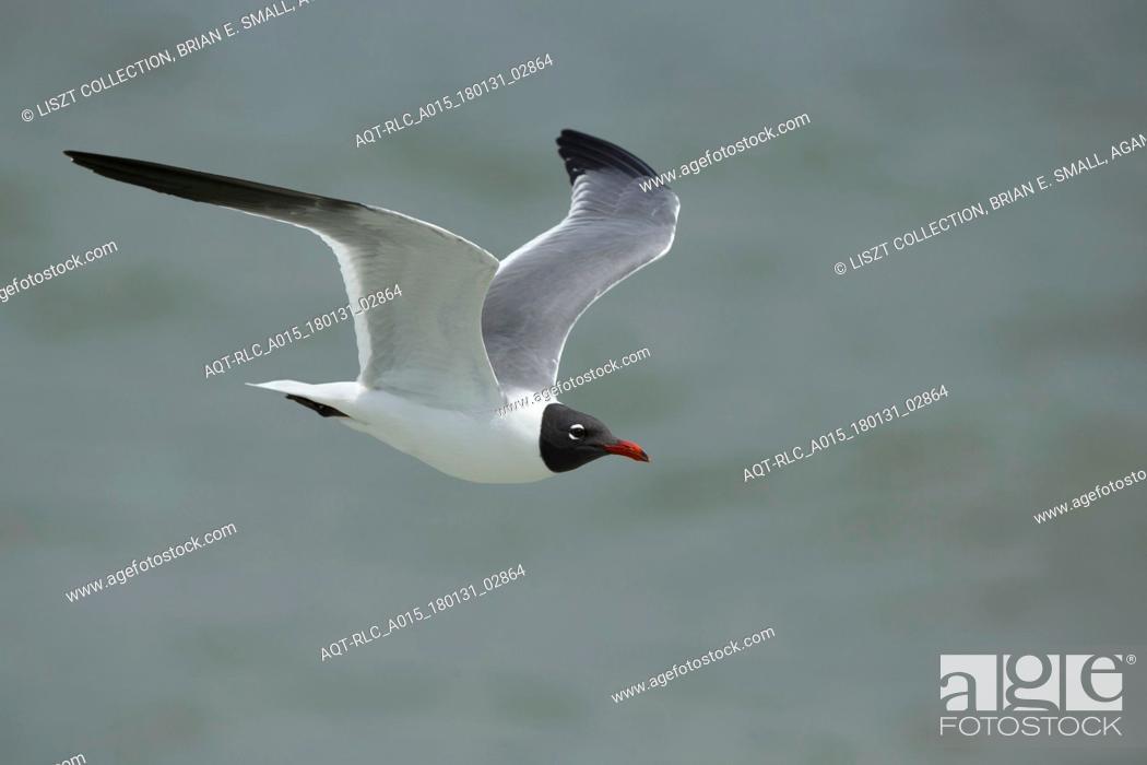 Stock Photo: Larus atricilla, Laughing Gull, Leucophaeus atricilla.