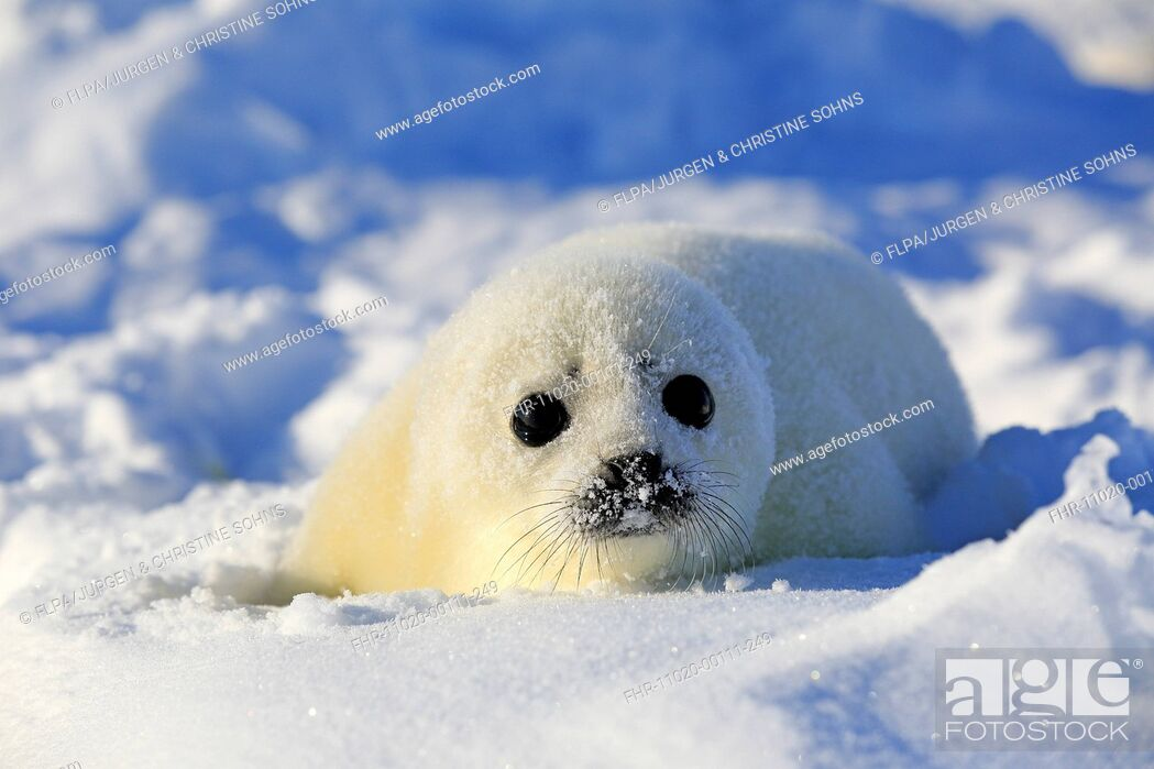 Stock Photo: Harp Seal (Pagophilus groenlandicus) pup, resting on pack ice, Magdalen Islands, Gulf of St. Lawrence, Quebec, Canada, March.