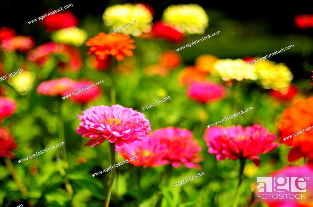 Stock Photo: Soft-focus zinnias make a scene awash in color, Pennsylvania, USA.