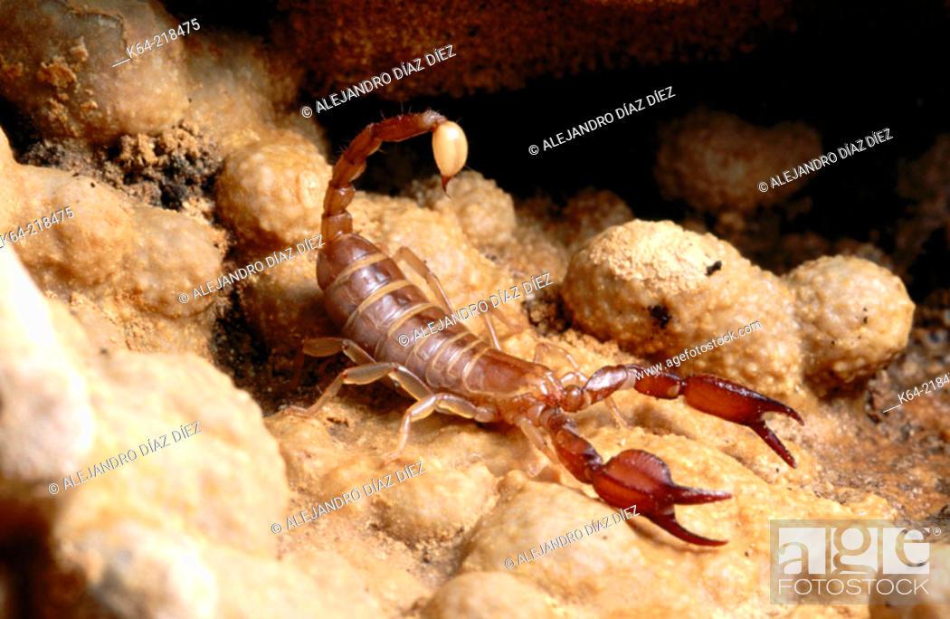 Stock Photo: Blind scorpion (Belisarius xambeui). Pyrenees Mountains.