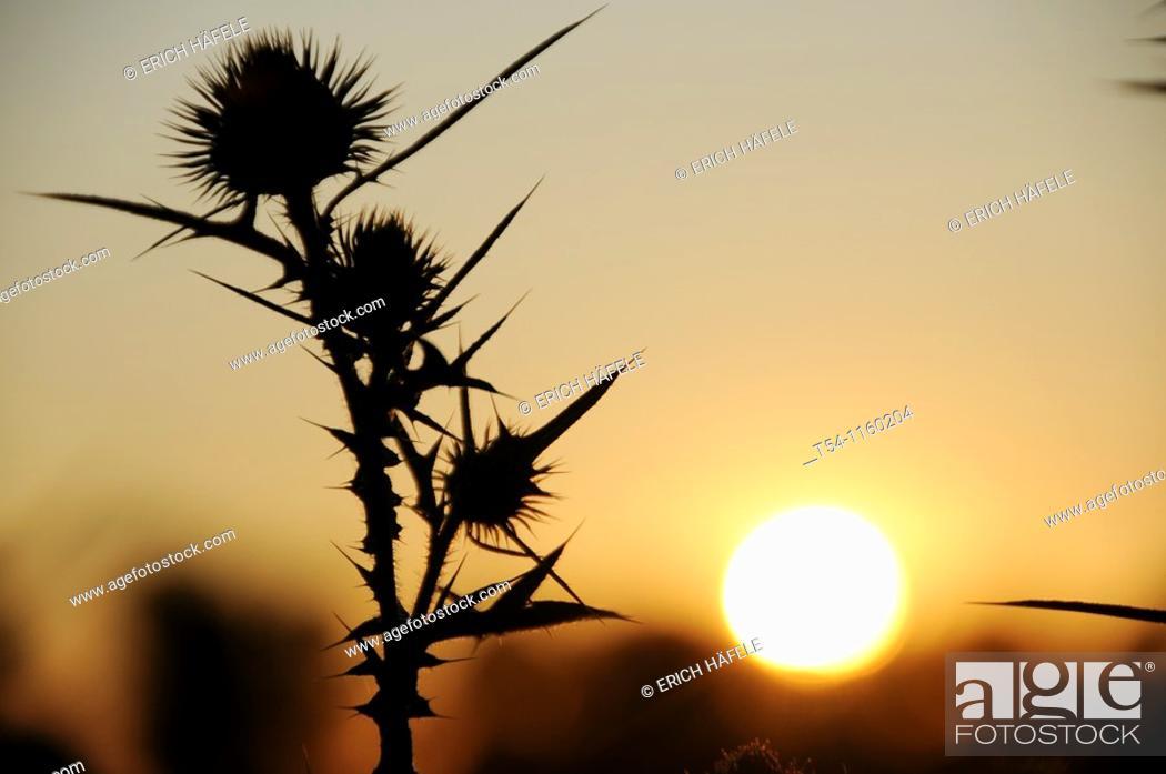 Stock Photo: Thistle at sunset.