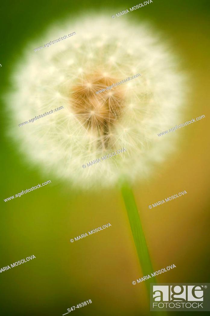 Stock Photo: Dandelion Seedhead. Taraxacum officinale Weber. June 2005. Maryland, USA.