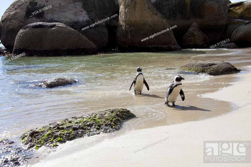 Stock Photo: African Penguin on Boulders Beach, Cape Town, South Africa.