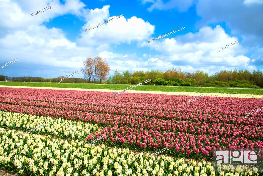Photo de stock: Agricultural field of Hyacinth Flowers, Netherlands, Holland.