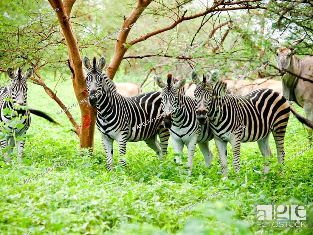 Stock Photo: Zebras.