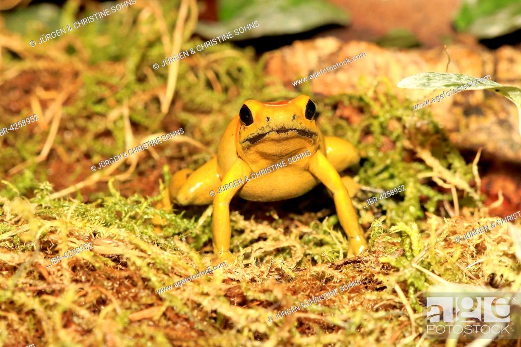 Stock Photo: Black-legged poison frog, bicolored dart frog or neari (Phyllobates bicolor), adult, alert, found in South America, captive.