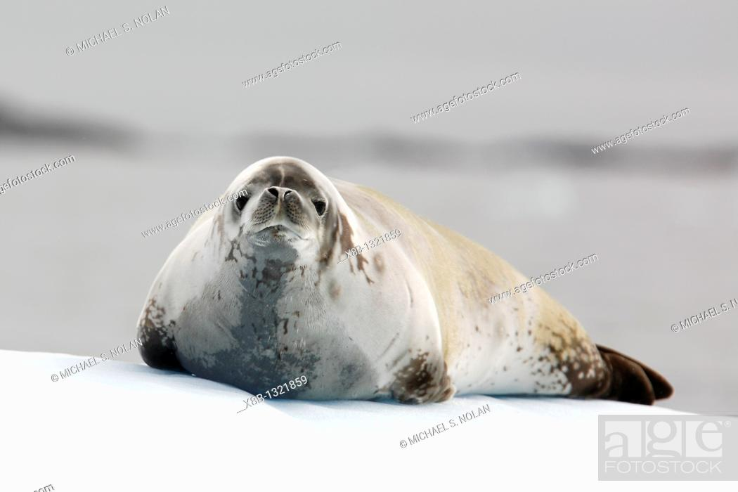 Stock Photo: Adult crabeater seal Lobodon carcinophaga hauled out on an ice floe near Petermann Island near the Antarctic Peninsula.