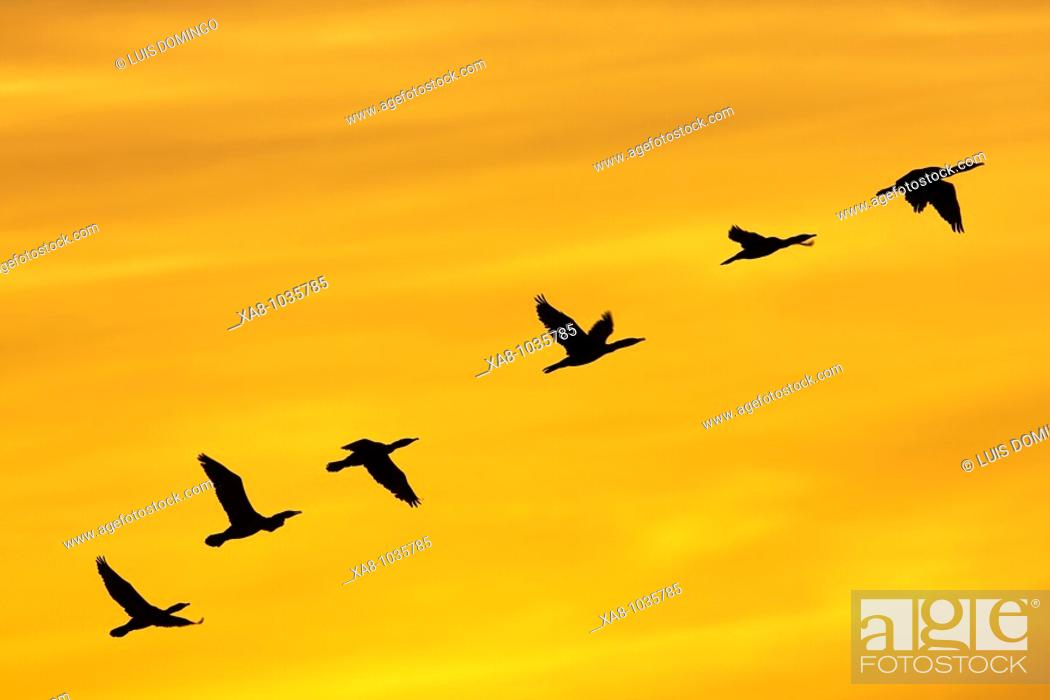 Stock Photo: Cormorants flying at sunset, Spain.