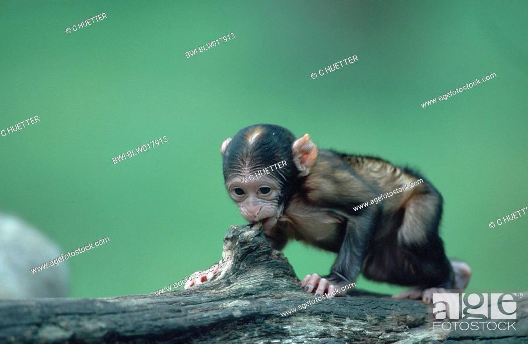 Stock Photo Barbary Ape Macaque Macaca Sylvanus Aug 99