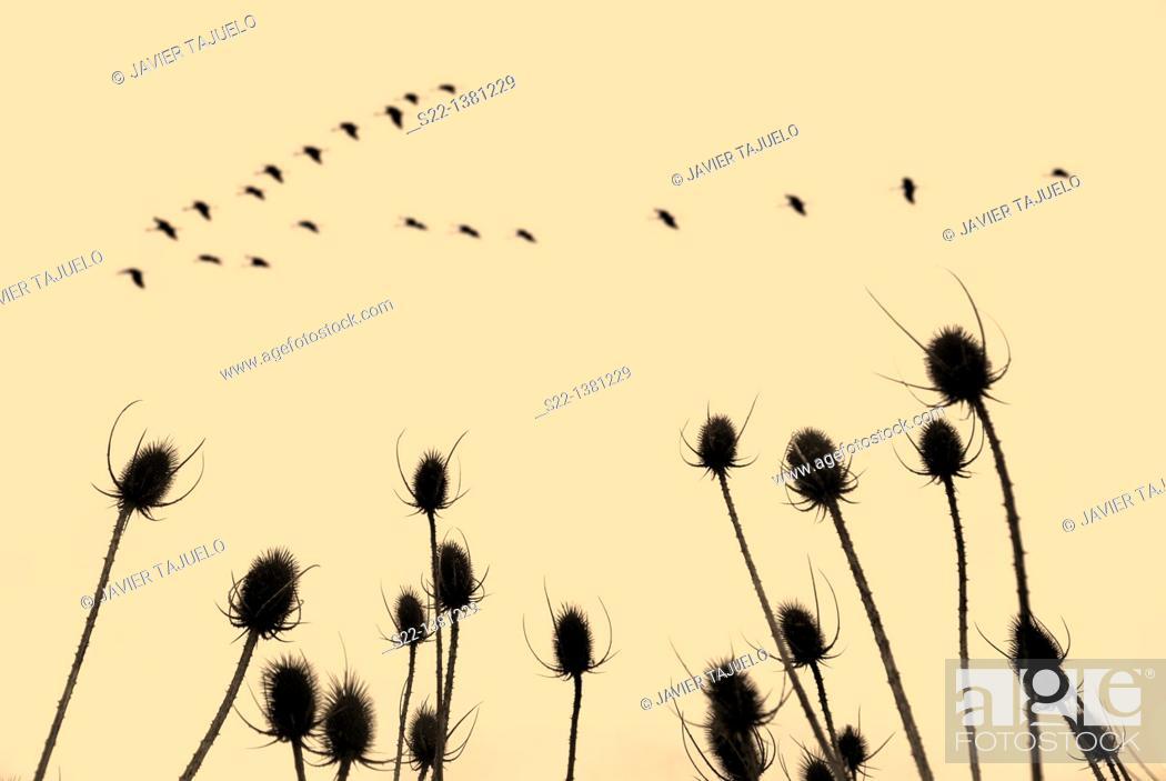 Stock Photo: Common teasel  (Dipsacus fullonum).