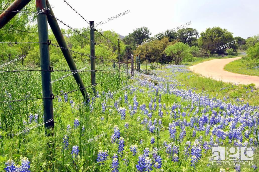 Stock Photo: Bluebonnets in the Texas Hill Country.