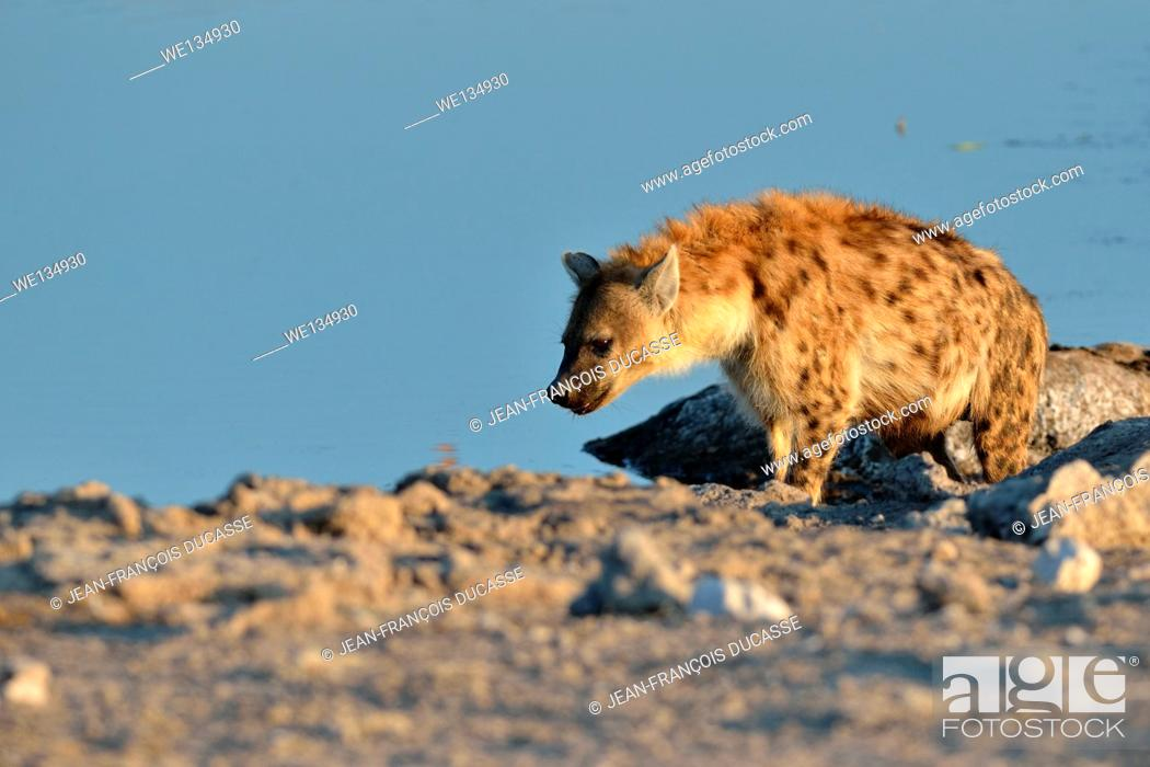 Stock Photo: Spotted Hyena (Crocuta crocuta), at a waterhole, in late afternoon, Etosha National Park, Namibia, Africa.