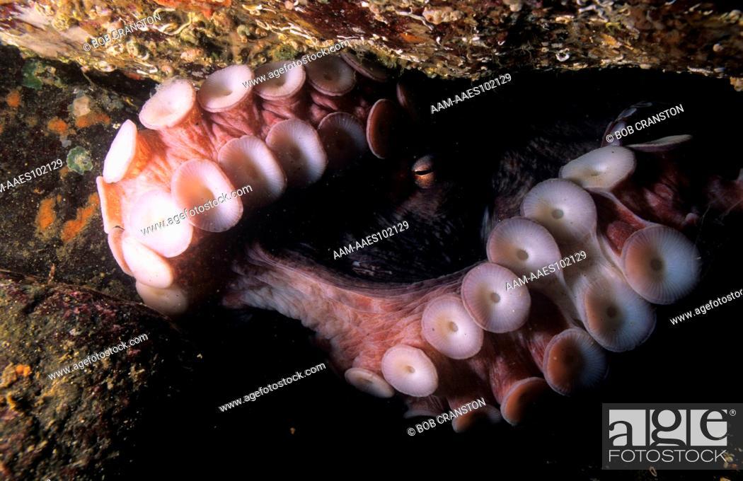 Giant Pacific Octopus (Octopus dolfeini) largest octopus in world ...