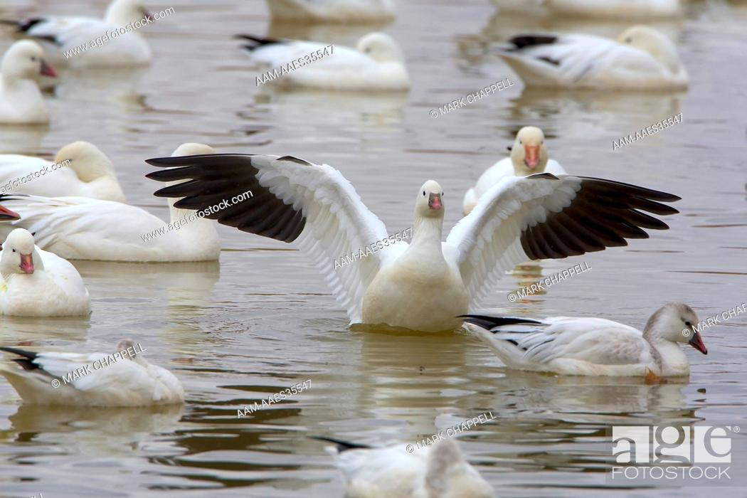 Stock Photo: Snow Geese (Chen caerulescens) and Ross's Geese (Chen rossi), Bosque del Apache Wildlife Refuge, New Mexico, USA.