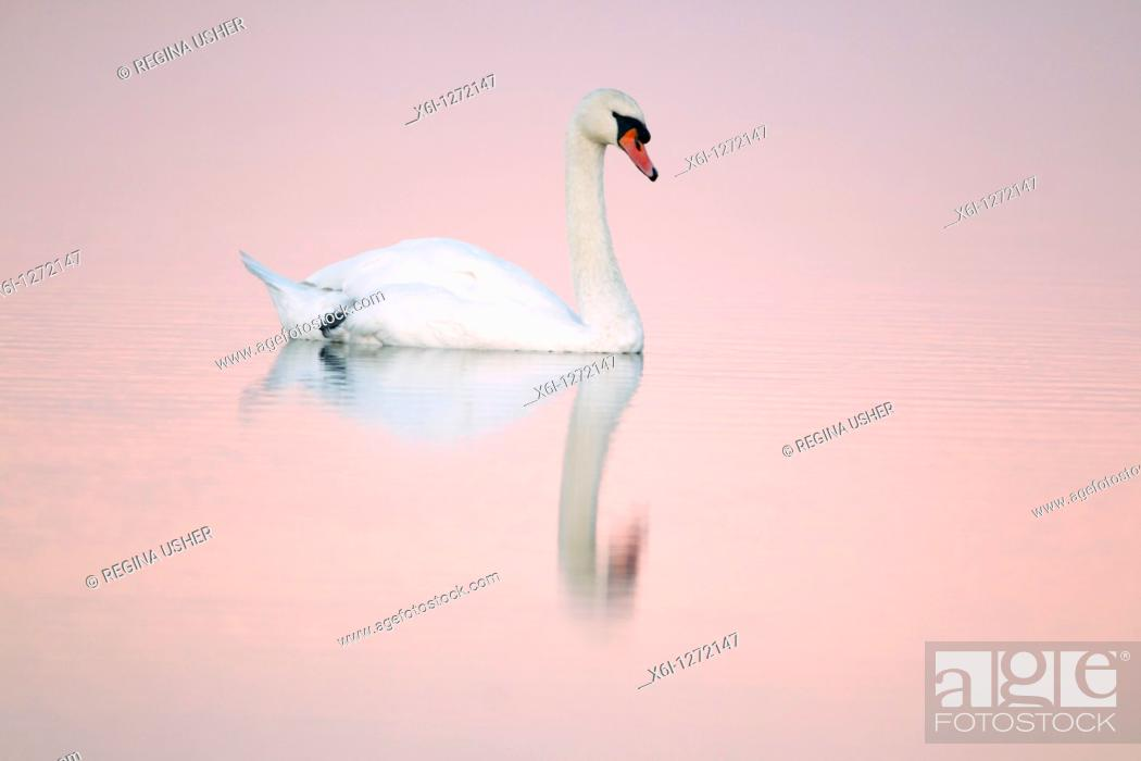 Stock Photo: Mute Swan Cygnus olor, in estuary creek at dusk, Holy Island NNR, Northumberland, England.