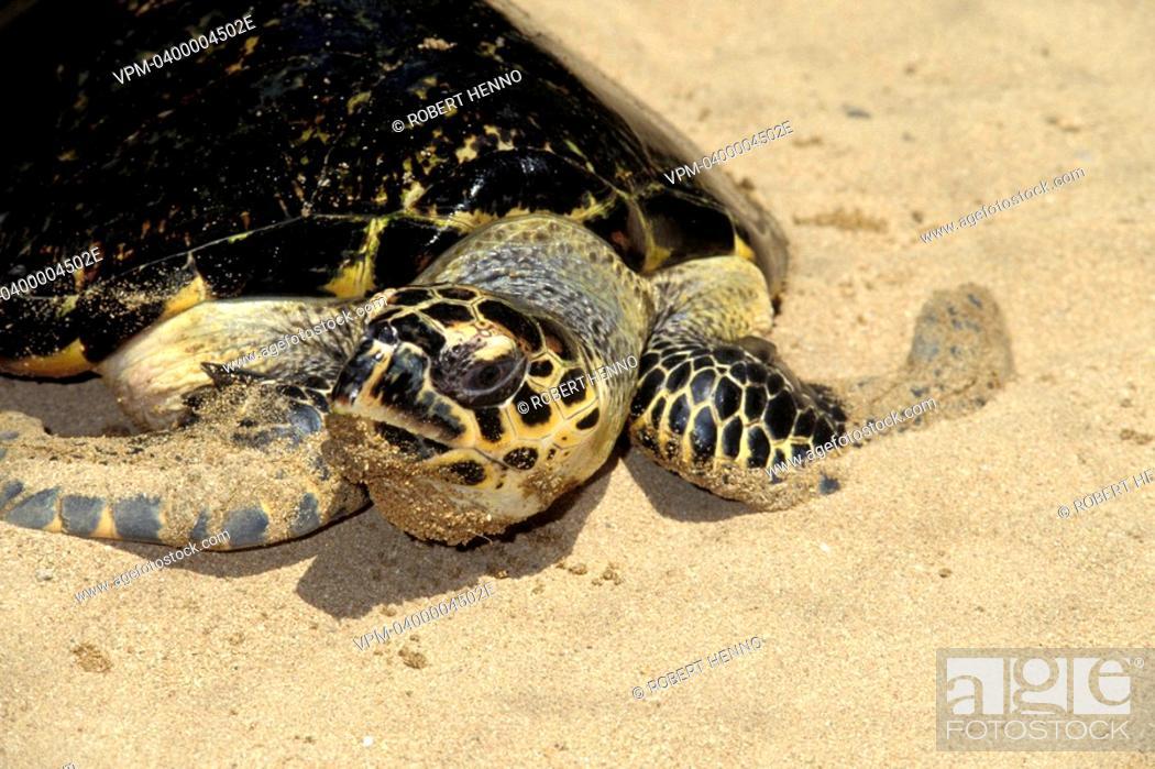 Stock Photo: CHELONIA MYDASGREEN SEA TURTLE - GREEN TURTLESRI LANKA - ADULT.