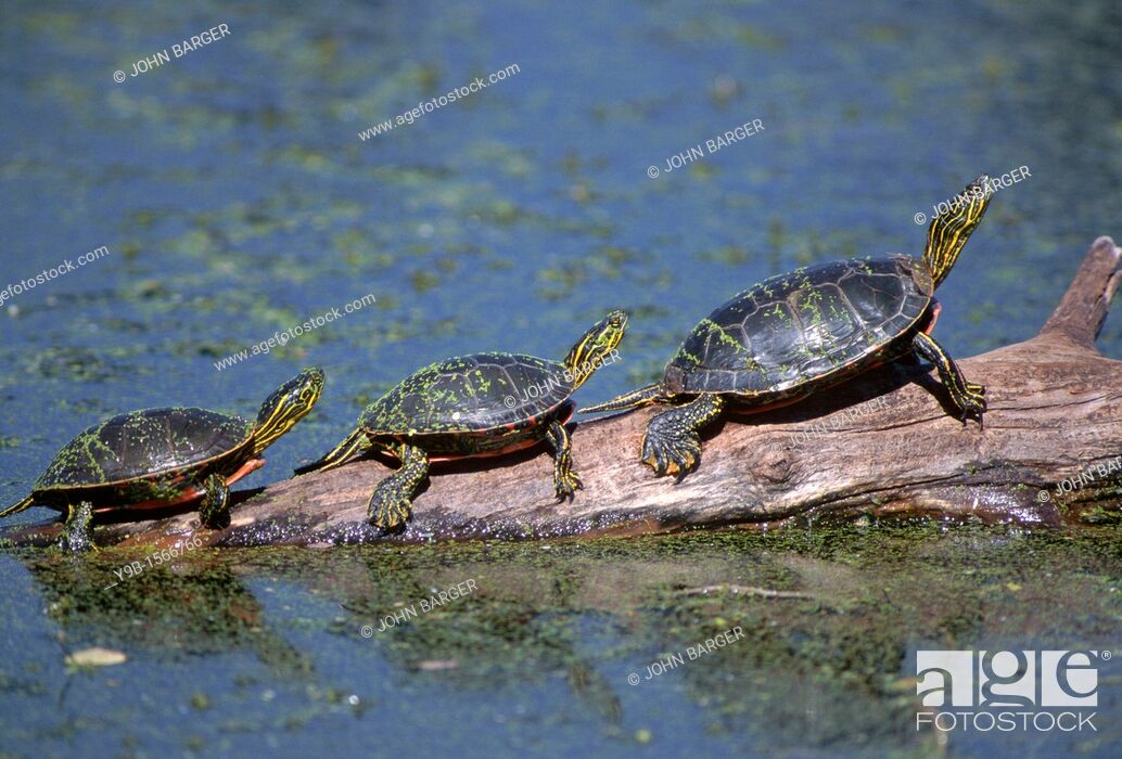 Stock Photo: WESTERN PAINTED TURTLE Chrysemys picta bellii, three sunning themselves on a log, National Bison Range, Montana, USA.