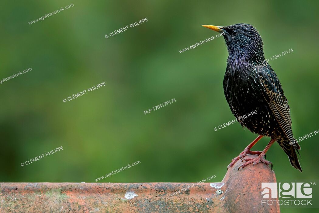 Imagen: Common starling / European starling (Sturnus vulgaris) male perched on roof tile of house.