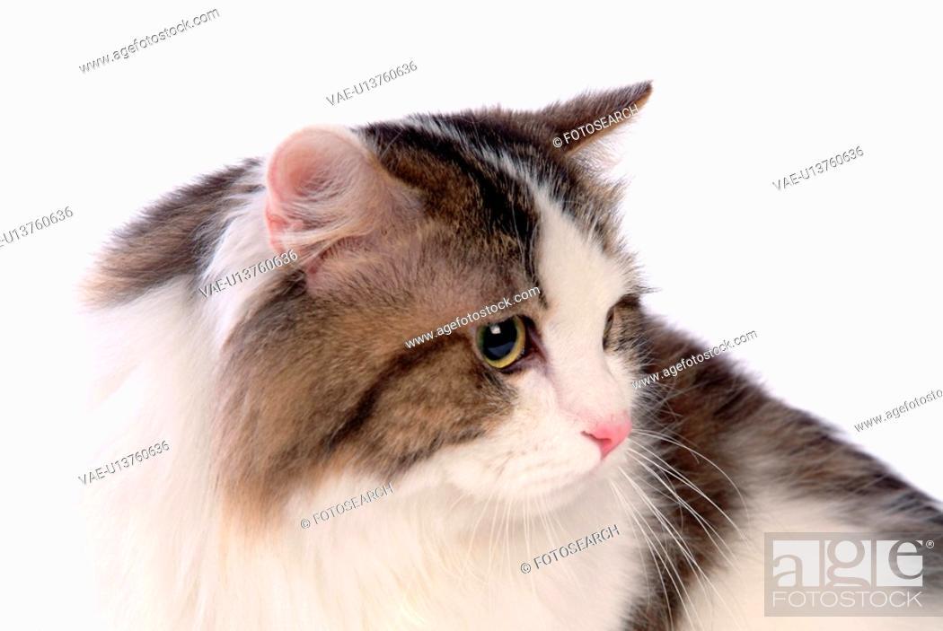 Stock Photo: Turkish angora, turkishangora, domestic cat, feline, domestic animal, TurkishAngora.