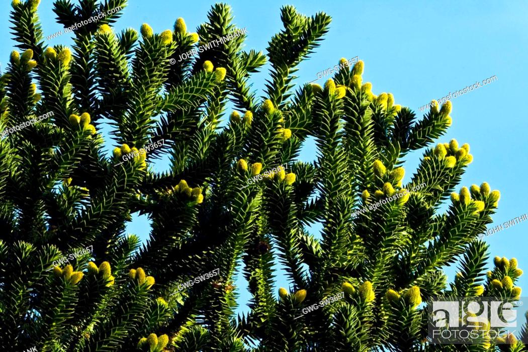Stock Photo: NEWLY FORMING CONES ON ARAUCARIA ARAUCANA MONKEY PUZZLE TREE.