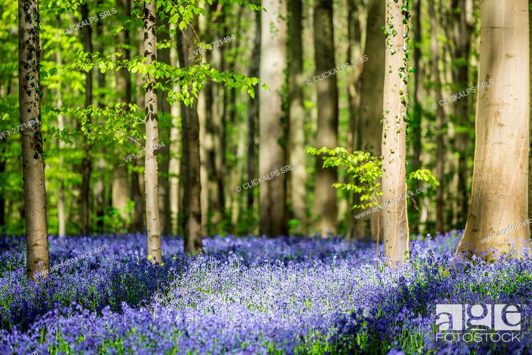 Stock Photo: Hallerbos, beech forest in Belgium full of blue bells flowers.