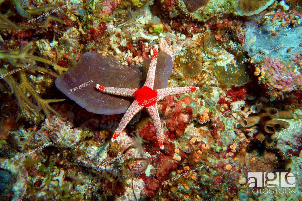 Stock Photo: Starfish, Raja Ampat, Papua, Indonesia, Southeast Asia.