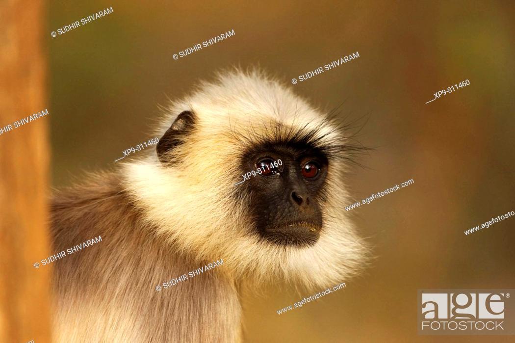 Stock Photo: Hanuman Langur. Nagarhole National Park, Karnataka, India.