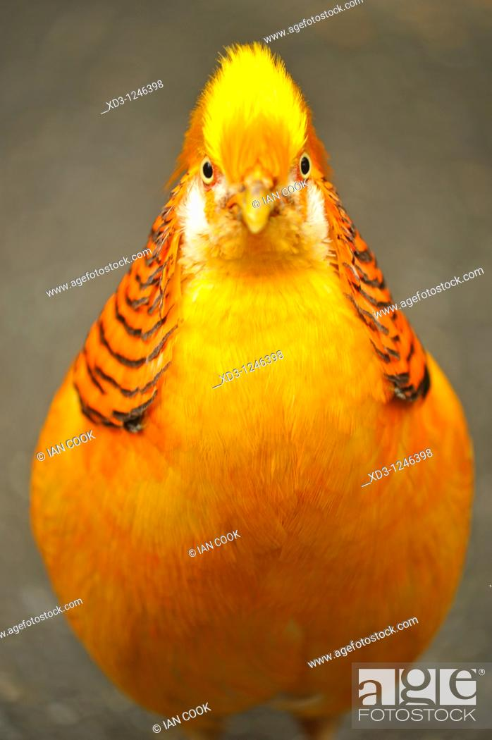 Stock Photo: golden or Chinese pheasant Chrysolophus pictus - native habitat mountainous areas of western China - Bloedel Conservatory, Queen Elizabeth Park, Vancouver.