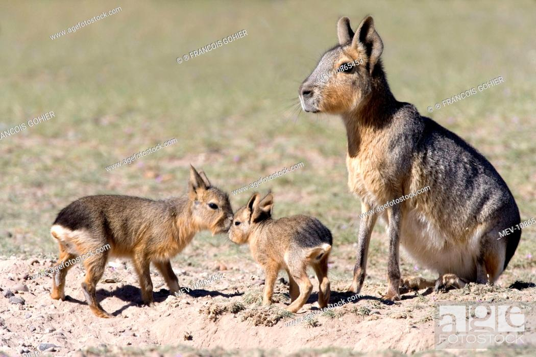 Imagen: MARA / Patagonian Hare / Patagonian Cavy - mother and small babies near den. (Dolichotis patagonum). Valdes Peninsula, Province Chubut, Argentina.