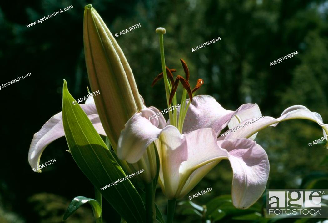Stock Photo: Lilium - pale lilac - cospicuous pistils and anthers - a prominent bud.