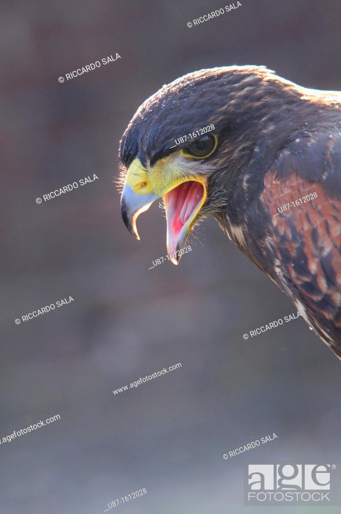Stock Photo: Harris Hawk, Parabuteo unicinctus, in Captivity.