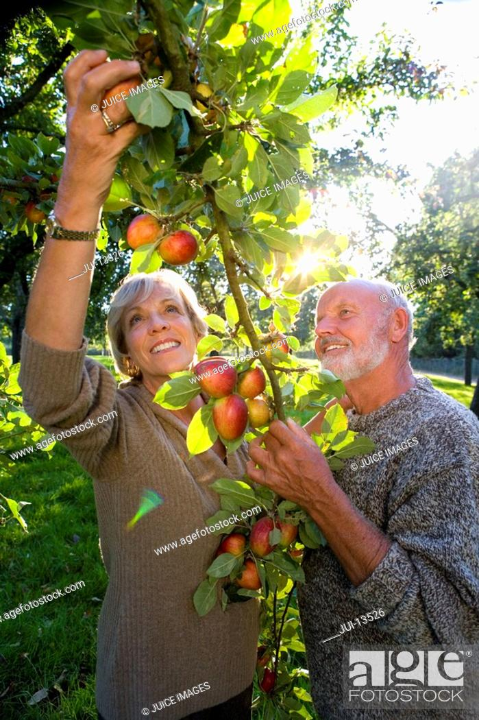 Stock Photo: Mature couple picking apples in orchard, smiling lens flare.